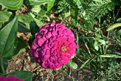 Violett zinnia Royaltyfria Foton