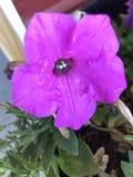 violetta zdjęcia stock