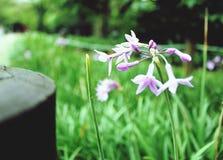 violetta fotografia royalty free