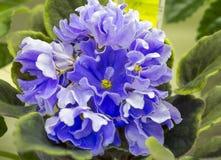 violetta zdjęcie stock