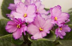 violetta fotografia stock
