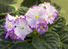violetta obrazy royalty free