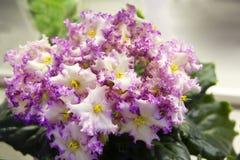 violetta obrazy stock