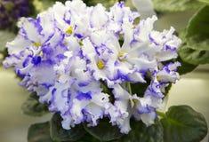 violetta zdjęcia royalty free