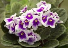 violetta obraz stock