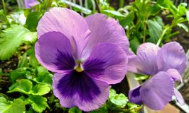 violetta zdjęcie royalty free