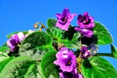 violetta Obraz Royalty Free