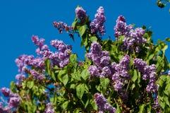 violetta altówki obrazy stock