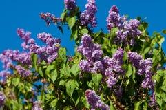 violetta altówki zdjęcie royalty free