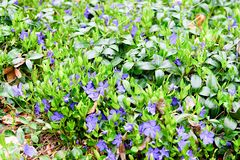 Violetta blått-violetta blommor Grön och violett bakgrund Royaltyfri Bild