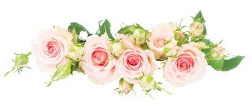 Violetta blommande rosor Fotografering för Bildbyråer