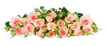Violetta blommande rosor Royaltyfria Bilder