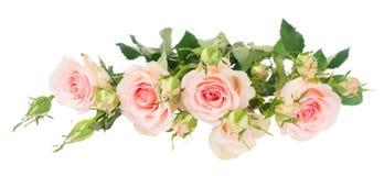 Violetta blommande rosor Royaltyfri Foto