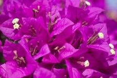 Violetta blommor Arkivfoton