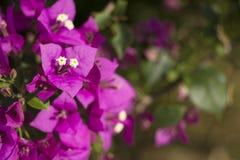 Violetta blommor royaltyfri bild