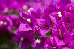 Violetta blommor Fotografering för Bildbyråer