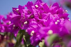 Violetta blommor Royaltyfria Bilder