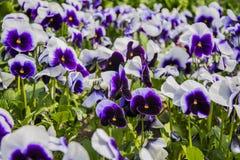 Violetta blommor Royaltyfria Foton