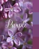 Violetta blommor av en lila Royaltyfri Bild