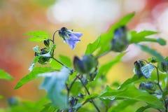 Violetta blommor av en nightshade Royaltyfri Fotografi