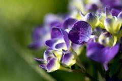 Violetta blommor av hortensia i trädgården på green Royaltyfri Foto
