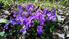 Violetta blommor i skogen på den tidiga våren royaltyfria bilder