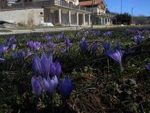 Violetta blommor på gräs royaltyfri fotografi