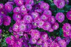 Violetta blommor som blommar textur Hösten blommar bakgrund royaltyfri foto