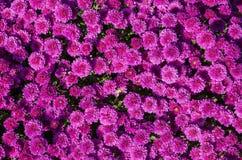 Violetta blommor som blommar textur Hösten blommar bakgrund royaltyfri fotografi