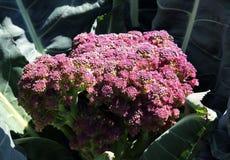 Violetta di Sicilia blomkål Royaltyfri Bild