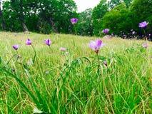 Violetta fält Arkivbild