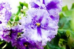 violetta Fiołek jest błękitny Delikatny kędzierzawy fiołek W górę fiołka obraz stock