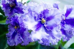 violetta Fiołek jest błękitny Delikatny kędzierzawy fiołek W górę fiołka fotografia royalty free
