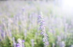 Violetta färgblommafält Arkivfoto