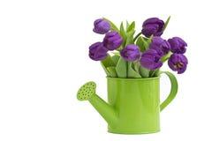 violetta grupptulpan Fotografering för Bildbyråer