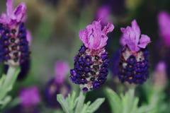 Violetta härliga blommor Arkivbilder