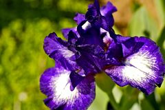 Violetta Irisblommor Royaltyfria Bilder