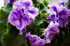 violetta K?dzierzawy fio?ek houseplants Podstawa dla twój wakacyjnych powitań Dwa kolorów fiołek zdjęcia stock