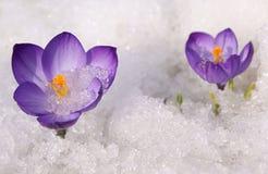 violetta krokusar Royaltyfri Foto