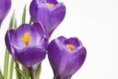 violetta krokusar Royaltyfria Foton