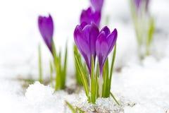 violetta krokusar Arkivfoto