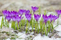 Violetta krokusar i snön Arkivfoton