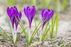 Violetta krokusblommor Fotografering för Bildbyråer