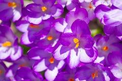 Violetta krokusblommor Arkivbilder
