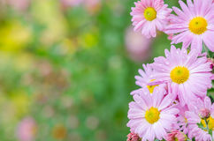 Violetta krysantemum blommar i trädgård Festligt hälsningkort Arkivbilder