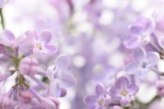 Violetta lila blommor Fotografering för Bildbyråer