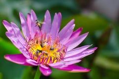 Violetta lotusblomma och bin royaltyfri fotografi