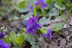violetta Mały purpurowy wildflower obrazy royalty free