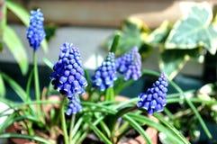 Violetta naturliga blommor på krukan Arkivfoton
