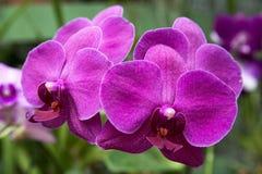 violetta orchids Arkivfoto